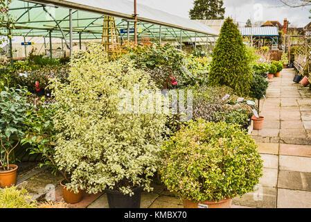 Specimen ornamental trees for sale at an English garden centre including Pittosporum tenuifolium Silver Queen - Stock Photo