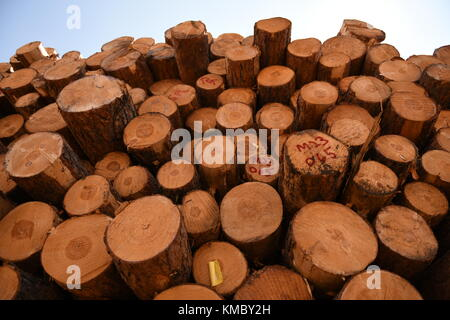 Large stack of fresh cut timber logs from the Black Hills forest in South Dakota, USA - Stock Photo