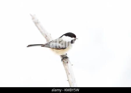 Black-capped Chickadee perched on branch in winter - Stock Photo