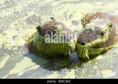 capybara Swimming, in algae water (Hydrochoerus hydrochaeris) - Stock Photo