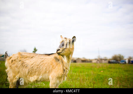 Adult red-haired goat grazing in the meadow and posing for photos. - Stock Photo