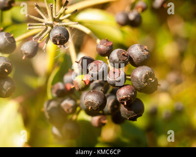 close up of dark blue many berries on shrub in autumn - Hedera helix (Ivy); essex; england; uk - Stock Photo