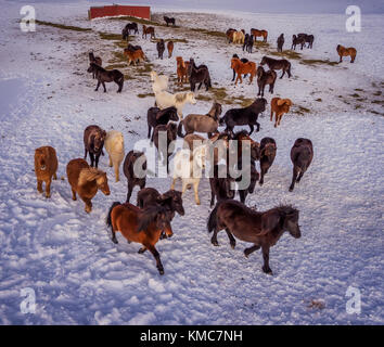 Icelandic on a farm in the Horgardulur valley in Northern Iceland. This image is shot with a drone. - Stock Photo