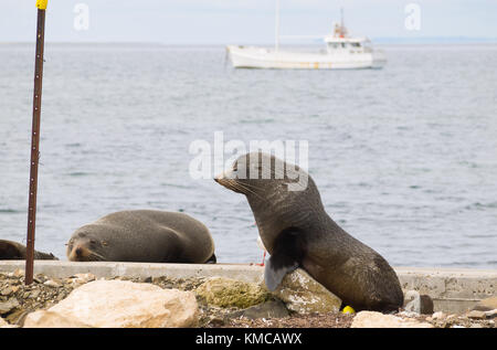 Seals relax by the local harbour in Kingscote, Kangaroo Island, South Australia, Australia. - Stock Photo