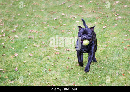 Happy, fit Staffordshire bull terrier dog running on grass towards the camera, he has a black shinny coat and a - Stock Photo