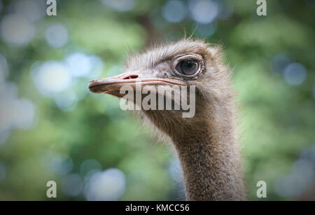 Portrait of the ostrich head looking at as far away as looking forward to something good in the future - Stock Photo