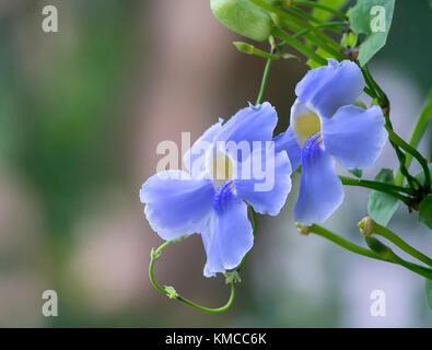 Wild purple flowers bloom in the garden gently to create attractive beauty in the natural world - Stock Photo