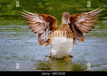 Mallard wild duck, Anas platyrhynchos, female, Hyde Park, England - Stock Photo