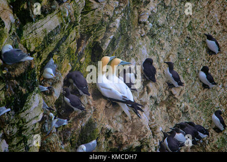 Northern Gannet, Morus bassanus is a seabird and the largest member of the gannet family. Sommerset, England - Stock Photo