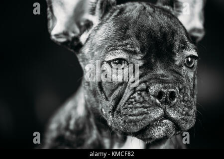 Close Up Portrait Young Black French Bulldog Dog Puppy With White Spot Sit On Red Sofa Indoor. Funny Dog Baby. Photo - Stock Photo