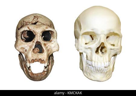 Dmanisi Homo erectus vs Homo sapiens Skull - Stock Photo