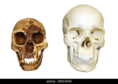 'The Hobbit' Homo floresiensis vs Homo sapiens Skull - Stock Photo