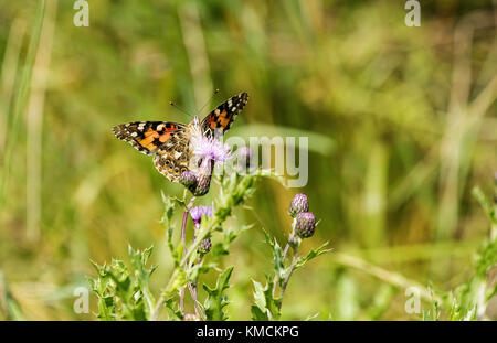 Painted Lady butterfly feeding on a thistle - Stock Photo