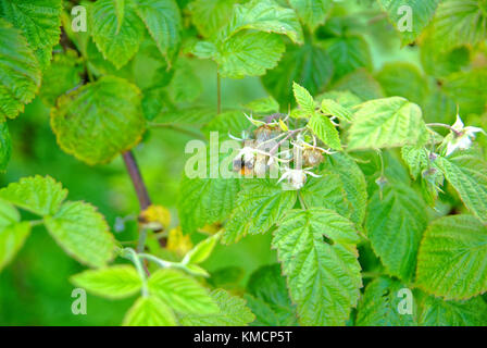 bumblebee on the flowers of raspberries in the summer, Russia - Stock Photo