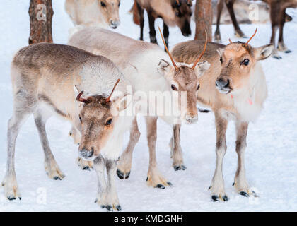 Reindeers at farm in winter Lapland, Rovaniemi of Northern Finland - Stock Photo