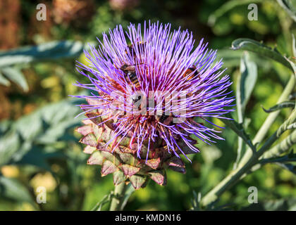 Close-up of six bees gathering pollen on a wild artichoke flower - Stock Photo
