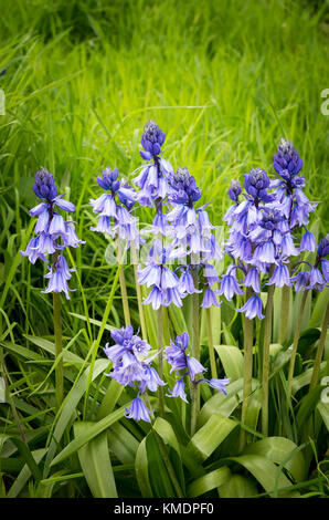 Naturalised Spanish bluebells in an old English country garden in UK - Stock Photo