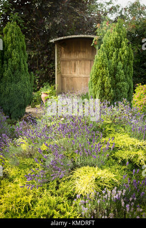 Evergreen conifers and mixed lavender in a small English garden - Stock Photo