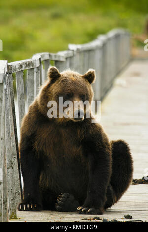 Brown Bear (Ursus arctos) in Kurile Lake, Kamchatka Peninsula, Russia. - Stock Photo