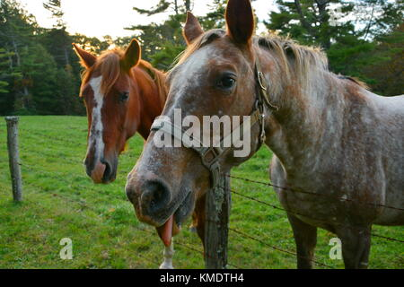 Equine con artists ham it up for tourists near the Round Meadow Overlook on the Blue Ridge Parkway in the hopes - Stock Photo