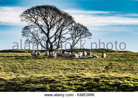 Black face sheep gather next to a bare tree on a winter's day near Cessford Castle. - Stock Photo