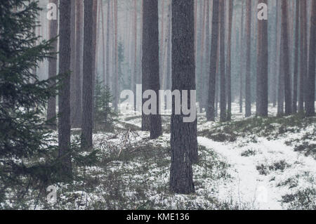 Snowy day in a forest. Pine trunks and little spruces. - Stock Photo