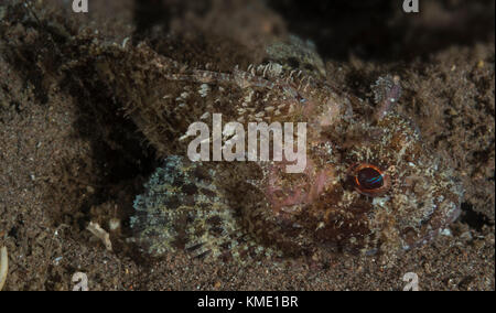 Mozambique scorpionfish hiding in plain sight - Stock Photo