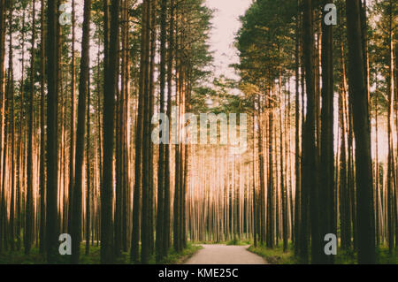 Road trough the pine forest with sun rays. - Stock Photo