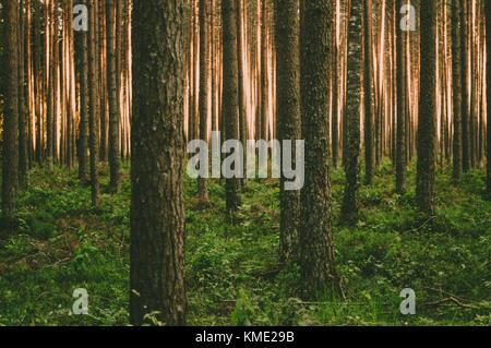 Beautiful pine trunks and sun light trough them. - Stock Photo