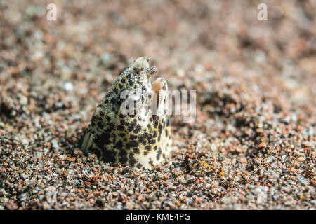 Marbled snake eel sticking its head out of the sand - Stock Photo