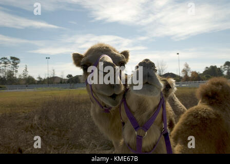 Pair of camels in playful situation.. USA - Stock Photo