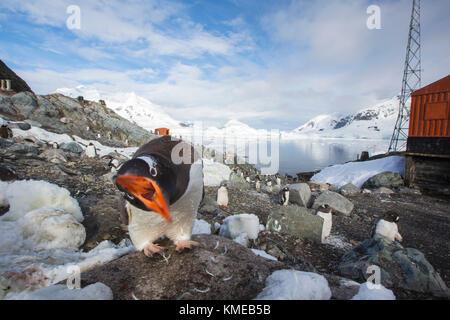 Gentoo Penguins amongst coastal scenery in Paradise Bay off Graham Land,Antarctica - Stock Photo
