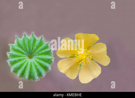 Abstract soft focus of Country mallow, Indian mallow,Abutilon indicum,Malvaceae, fruit and flower with the dark - Stock Photo