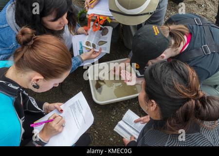 Wetlands Ecology Class,San Francisco State University,Tiberon,CA.The students used a seine to look  for animal life - Stock Photo