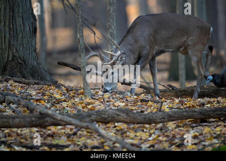 A mature buck whitetail deer feeding in the forest. - Stock Photo