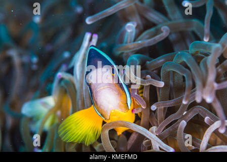 Yellowtail clownfish(Amphiprion clarkii  Bennett, 1830) swimming in the swaying sea anemone (Entacmaea quadricolor) - Stock Photo