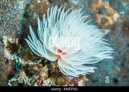Hard Tube Coco Worm (Protula bispiralis Savigny, 1822) swaying elegant in the wave. Owase, Mie, Japan - Stock Photo
