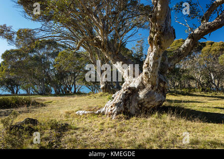 Massive gnarled old Snow Gum (Eucalyptus pauciflora) at Three Mile Dam, Kiandra in Kosciuszko National Park in the - Stock Photo