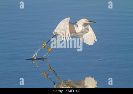 USA, California, Moss Landing, Wildlife Area, preserve, Snowy Egret - Stock Photo