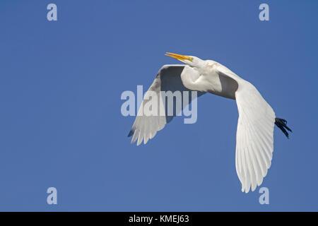 USA, California, Moss Landing, Wildlife Area, preserve, Great Egret - Stock Photo