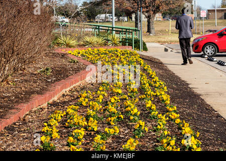 A garden bed rows of yellow pansies planted for winter color in Will Rogers botanical garden, Oklahoma City, Oklahoma, - Stock Photo