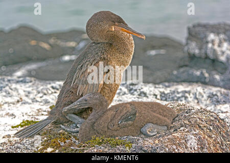 Flightless Cormorant and Its Baby on its Nest on Fernandina Island in the Galapagos - Stock Photo