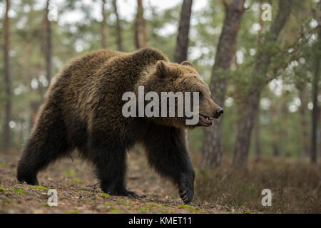 Eurasian Brown Bear / Braunbaer ( Ursus arctos ), young adolescent, walking along the edge of a forest, in its natural - Stock Photo