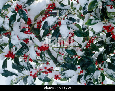 Holly berries and leaves in snow. Ilex aquifolium pyramidalis. - Stock Photo