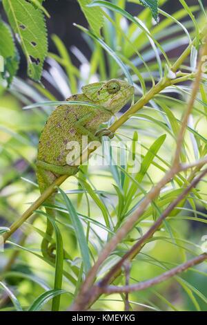 Europaeisches Chamaeleon ,Chamaeleo chamaeleon, Common Chameleon - Stock Photo