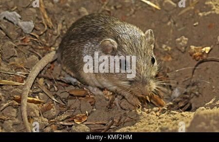 A Pacific pocket mouse burrows in the dirt at the Laguna Coast Wilderness Park July 5, 2017 near Laguna Beach, California. - Stock Photo