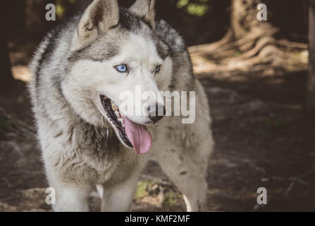 Siberian husky dog smiling in the summer - Stock Photo