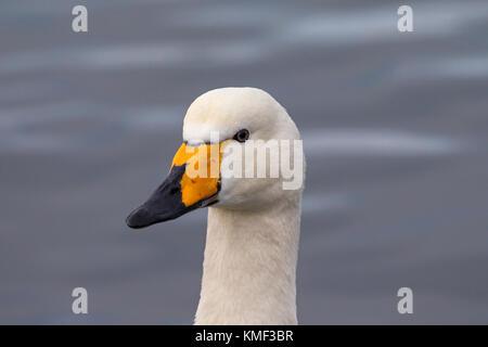 Close up portrait of whooper swan (Cygnus cygnus) swimming in winter - Stock Photo
