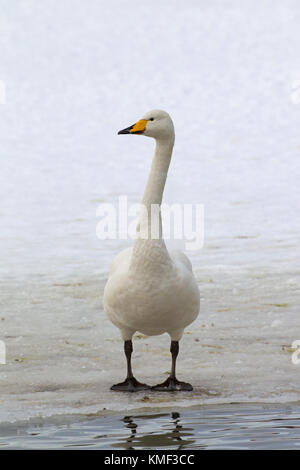Whooper swan (Cygnus cygnus) standing on ice of frozen pond in winter - Stock Photo