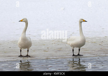 Two whooper swans (Cygnus cygnus) standing on ice of frozen pond in winter - Stock Photo